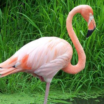 Flamant-rose.jpg